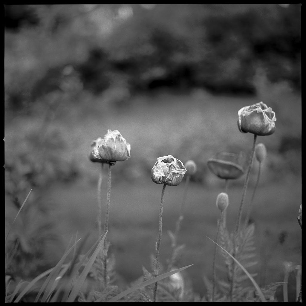 150620 Blommor Gunnared, Hasselblad 500CM, Planar CE 80/2,8, Kodak TmaX 100@100