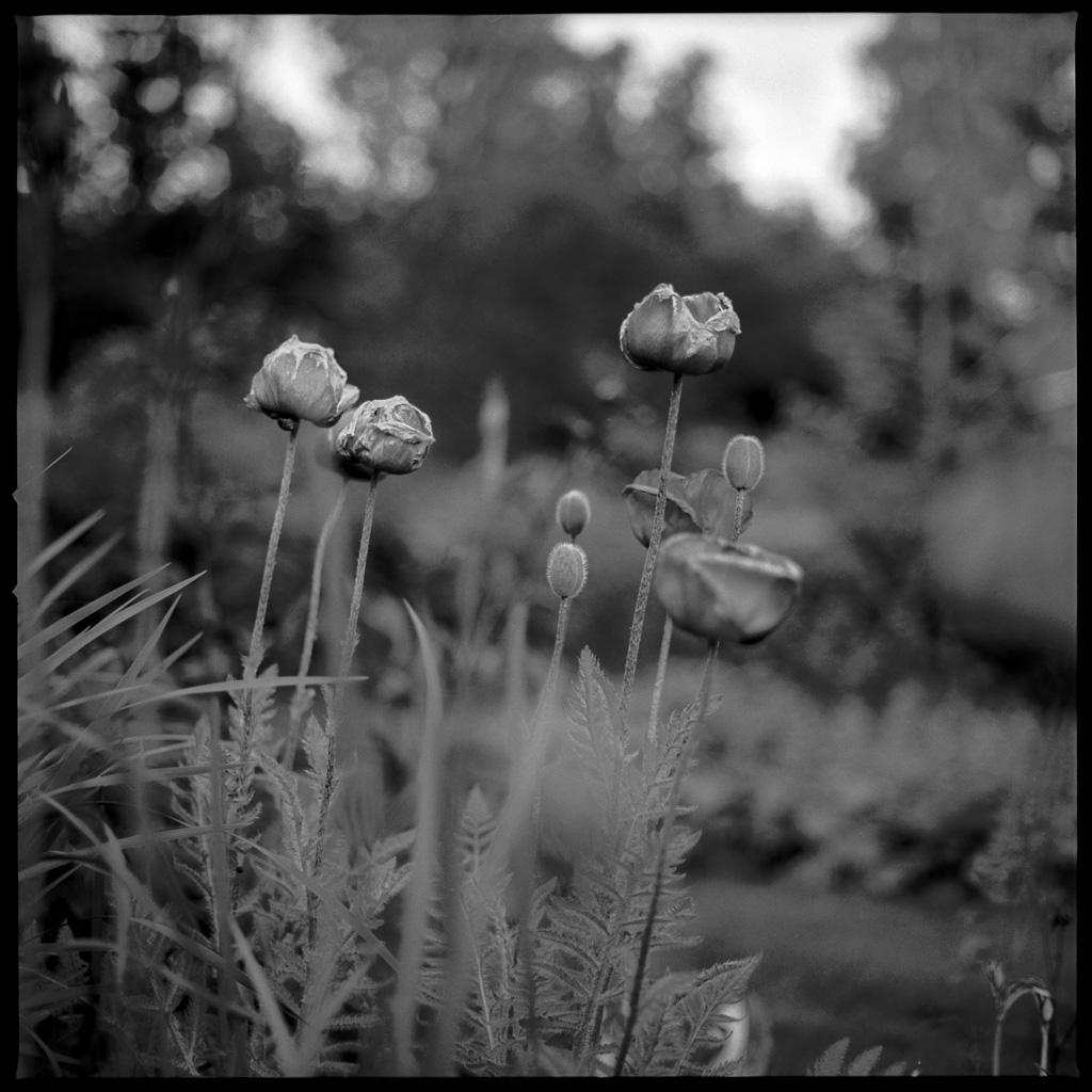 150620 Flower Gunnared, Hasselblad 500CM, Planar CE 80/2,8, Kodak TmaX 100@100